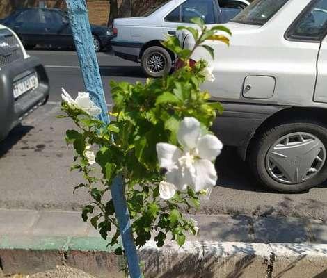 گلدهی درختچه ختمی درختی کاشت بهار در معابر سطح حوزه