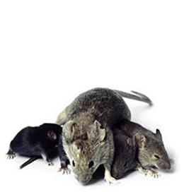 موش های تهران سرشماری می شوند