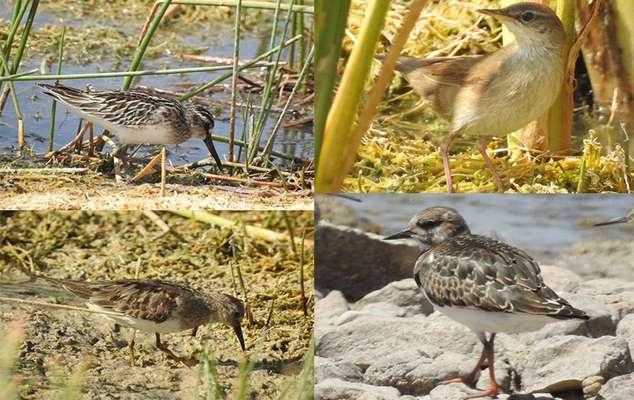 ثبت مشاهده ۴ گونه پرنده جدیدپرنده در تالاب گندمان