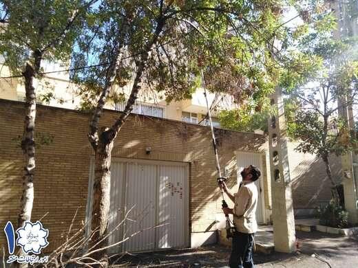 طرح جوانسازی درختان سطح منطقه ۱ با اجرای هرس شاخههای خشک