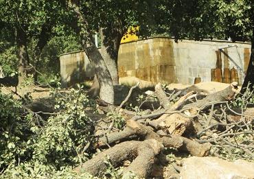 """قطع درختان بلوط جاده """"یاسوج- سیسخت"""" مجوز محیط زیست نداشت"""
