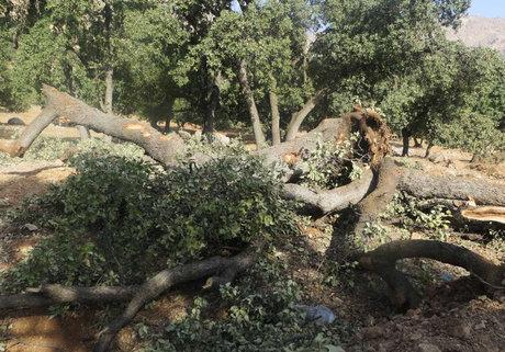 درختان کهنسالی که در برابر ریزگردها کم میآورند