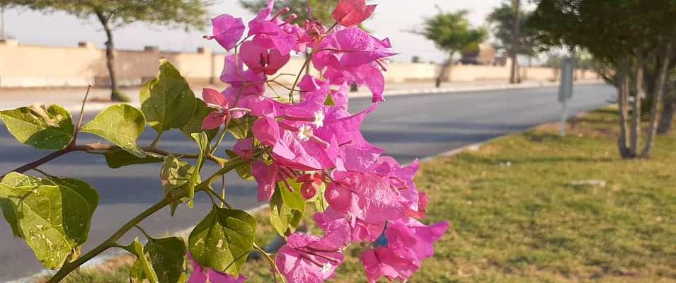 کاشت گل کاغذی در بلوار حضرت رسول اکرم (ص)