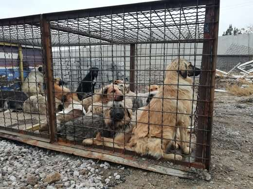 زندهگیری ۳۵۰ قلاده سگ بلاصاحب از سطح معابر منطقه ۶