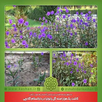 کاشت یکهزار اصله گل رائولیا در دارالسلام گلابچی