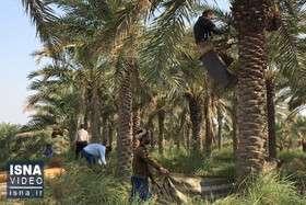 ویدئو / مشکلات نخلداران در شادگان خوزستان
