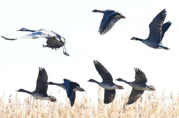 آغوش باز تالاب میقان به روی پرندگان مهاجر