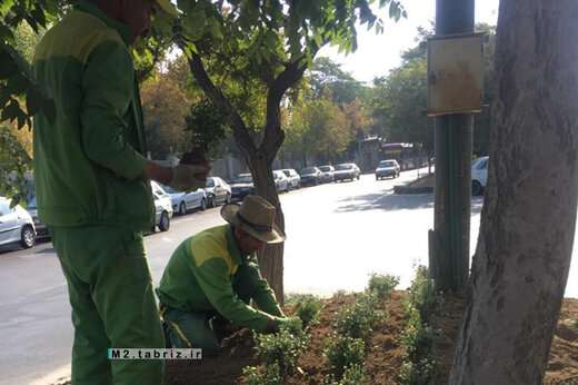 تداوم کاشت گلهای پائیزه در بلوار ۲۹ بهمن