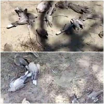 تلفات انبوه پرندگان وحشی در کنارک