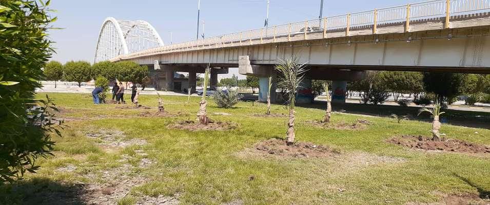 نخل های ثمرده در فضای سبز جنب پل شهید جهان آرا توسط شهرداری خرمشهر کاشته شد