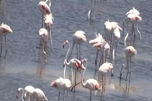 امسال همزمان با فصل مهاجرت؛دریاچه ارومیه میزبان بیش از ۵۵ هزار قطعه فلامینگو شد