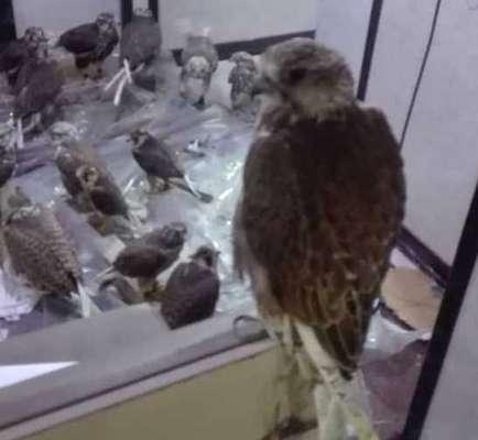 کشف وضبط محموله قاچاق ۲۲ پرندگان شکاری در عسلویه