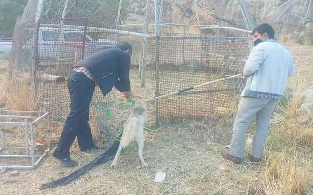 نجات یک قلاده گرگ در شهرستان چگنی