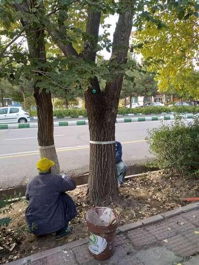 اندودکاری تنه درختان شروع شد