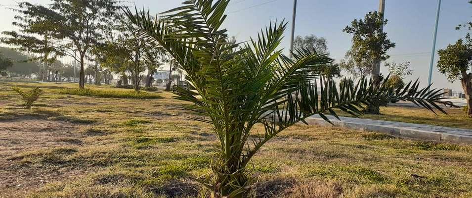 دویست نخل ثمرده در پارک کوی بهروز توسط شهرداری خرمشهر کاشته شد