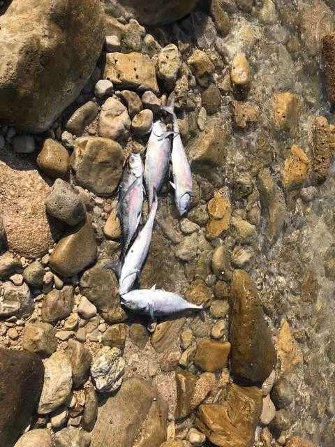 بررسی علت مرگ ماهیان در عسلویه