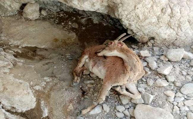 لاشه حیوانات تلف شده در ارتفاعات جنوب استان فارس امحا شد