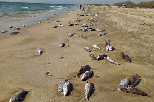 نتایج بررسیهای کارشناسان سازمان محیط زیست:علت مرگ گربه ماهیان در ساحل جاسک فعالیت های صیادی است
