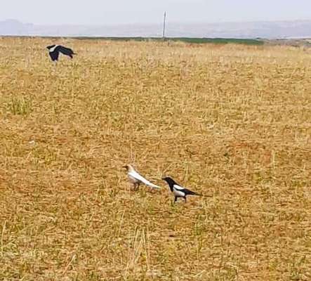 مشاهده گونه نادر زاغ سفید