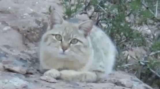 مشاهده گربه وحشی در ارتفاعات آوج