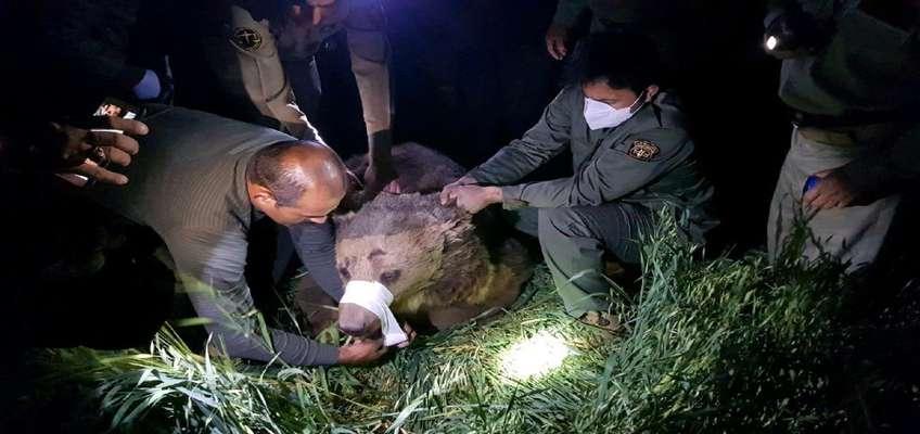 خرس قهوه ای نجات یافت
