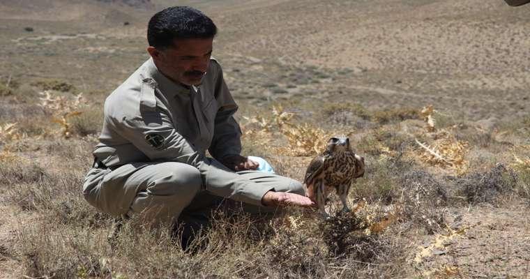 کشف، تیمارداری و رهاسازی پرندگان شکاری در عرصه های طبیعی استان اصفهان