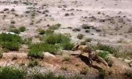 رهاسازی یک روباه در منطقه حفاظت شده قمصر و برزک کاشان