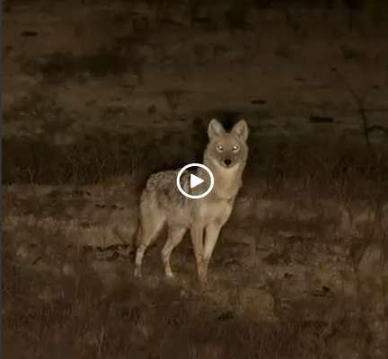 تکذیب و توضیح در مورد یک ویدیو؛ فیلم منتشر شده در فضای مجازی مبنی بر شکارگربه سانان و گرگ مربوط به کشور ایران نیست