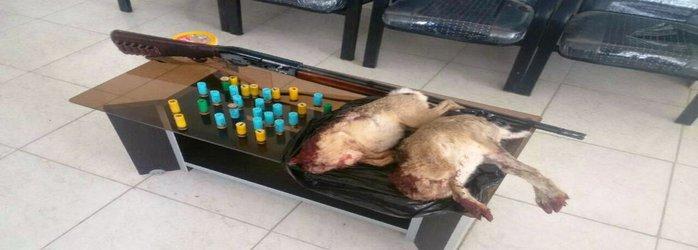 متخلفان شکار خرگوش در چادگان دستگیر شدند