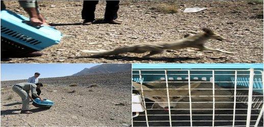 زنده گیری و رها سازی یک روباه در شهرستان فلاورجان
