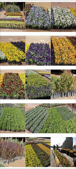پذیرایی فضای سبز نجف آباد از گلهای بنفشه، میخک و…