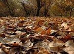 برگ های پاییزی از سطح شهر جهت تولید خاکبرگ جمع آوری می شود