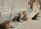 اقدام خوب از شهردار طالقان برای جمع آوری سگ های بلاصاحب