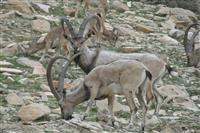مدیرکل حفاظت محیط زیست عنوان کرد: آغاز شمارش حیات وحش مناطق حفاظت شده  و شکار ممنوع  پارک ملی دنا